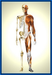 image of anatomy poster