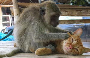 Monkey massaging a cat