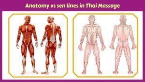 Thai Massage and anatomy facts