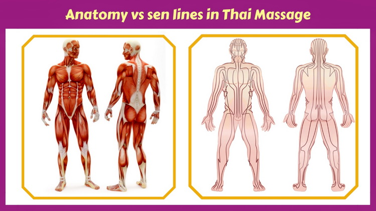 Thai Massage and anatomy facts